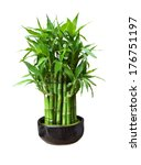 Bamboo In A Pot Isolated On...