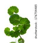 branch of a geranium on a white ... | Shutterstock . vector #176754485