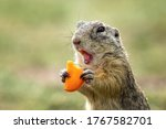 Cute gopher in proximity on a summer meadow with grass. He bit his finger.