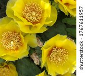 Closeup Of Yellow Prickly Pear...