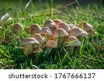 Group Of Mushrooms On The Lawn