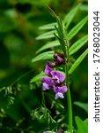 Wild Purple Flower With Ants