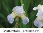 Bright Lilac Bearded Retro Iris ...