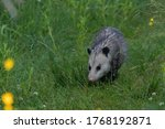 The Opossum On A Forest Trail...