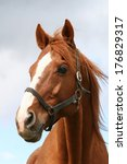 Stock photo portrait of a thoroughbred chestnut stallion 176829317