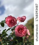 Small photo of A pink rose in Pollard Park, New Zealand April 27 2019