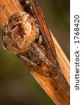 Small photo of Spider (agalenatea redii)