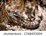 A Whipsnake  Or Striped Racer ...