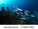 Creole Wrasse Fish Swimming...