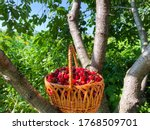 Big Basket With Ripe Big Cherry ...