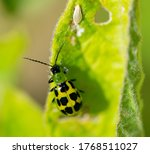Western Spotted Cucumber Beetle ...