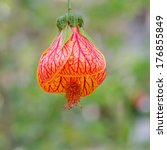 Small photo of Red-veined Abutilon , Striped Abutilon