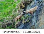 Ibex Fight On The Rock. Alpine...
