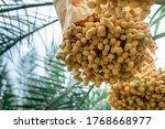 date palm varieties bahi for... | Shutterstock . vector #1768668977