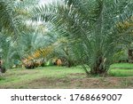 date palm seedlings seed and... | Shutterstock . vector #1768669007
