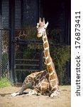 One Giraffe Sitting On The San...