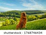 Golden Retriever Dog With...