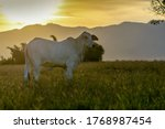 Silhouette Of Nelore Cattle At...