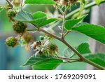 The First Green Berries Of...