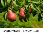 Ripe Pears Hang On A Branch...