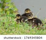 Mallard Duck Chicks Resting On...
