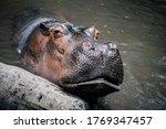 Relaxed Hippopotamus Waiting...