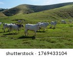 Herd Of Nelore Cattle Being...