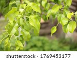 Natural Green Branch Of Fruits...