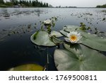 White Water Lilies ...