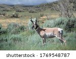 Pronghorn Antelope Adult Male...