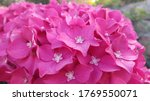 Pink Colored Hydrangea Flower...