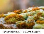 Close Up Macro Shot Of Moss On...
