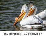 An American White Pelican With...
