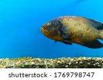 Astronotus Ocellatus Is A...