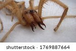 Spider  Close Up Camel Spider...