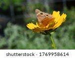 Buckeye Butterfly On A Yellow...