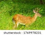 A Whitetail Buck Walks Across ...