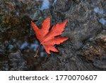 Red Maple Leaf. Autumn Fallen...