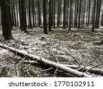 Winter in the woods of Bastogne