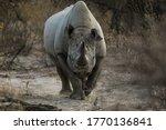 Full Front View Of Black Rhino...