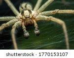 Labyrinth Spider  Agelena...