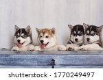 Small Beautiful Dogs Husky...