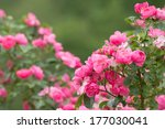 Stock photo pink roses 177030041