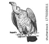 Ruppell's. Griffon Vulture....