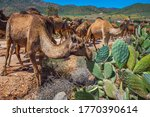 Herd Of Camels Eating Cactuses...