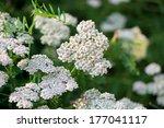 Achillea Millefolium In Bloom