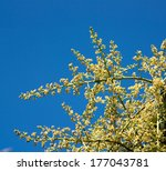 mango flowers on tall branches   Shutterstock . vector #177043781