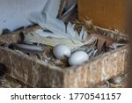 Bird Nest White Pigeon Dove...