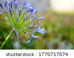 African Blue Lily Agapanthus ...
