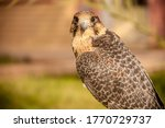 Small photo of White chested inbred Falcon sitting in a garden